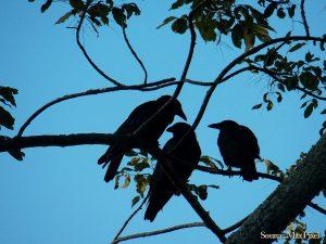 karasu crow
